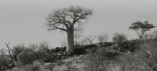 Mapungubwe – baobabs