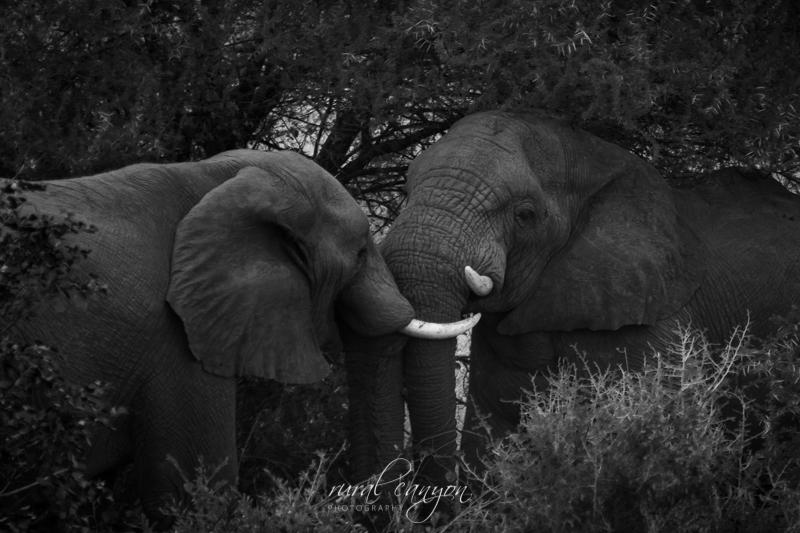 Mock elephant fight-1