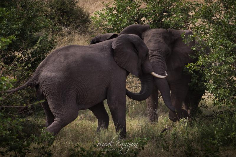 Mock elephant fight-11