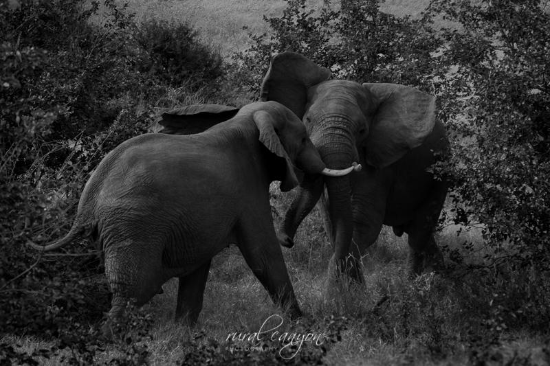 Mock elephant fight-12