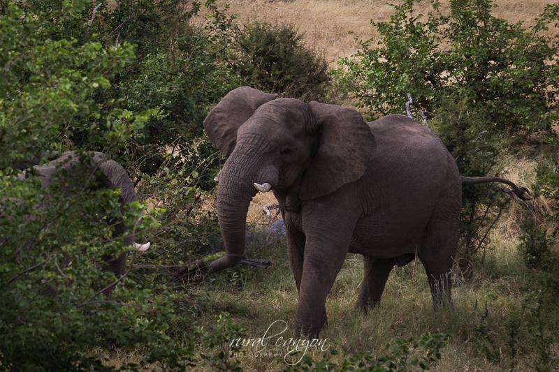 Mock elephant fight-16