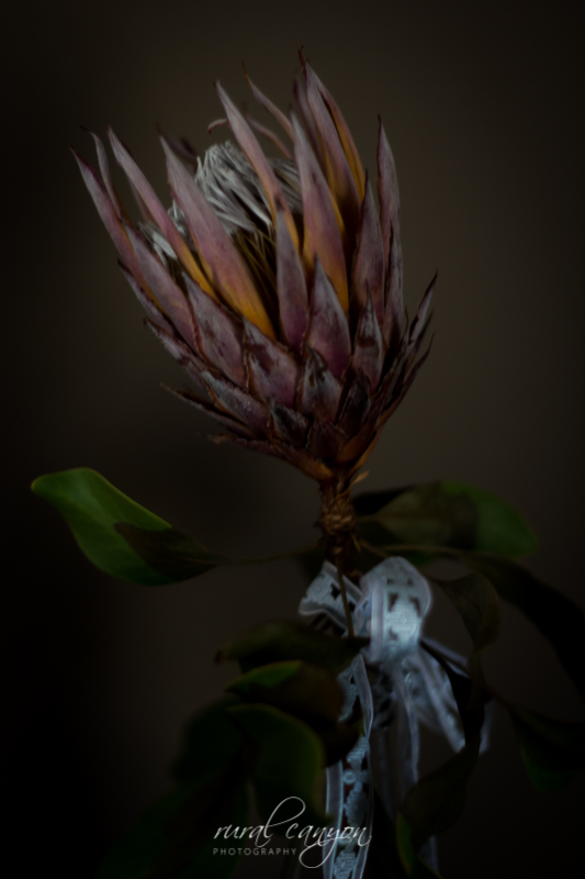 drying protea-1