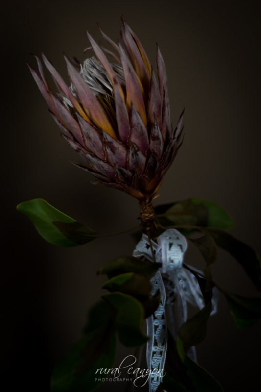 drying protea-2