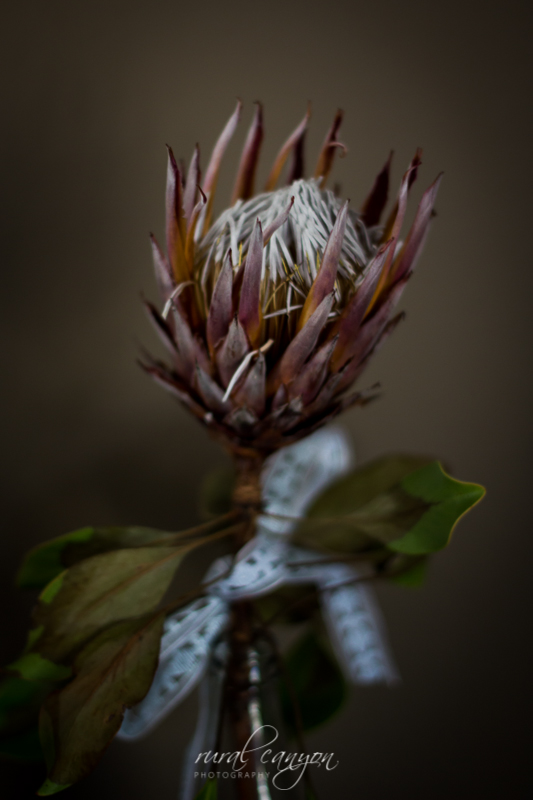 drying protea-6