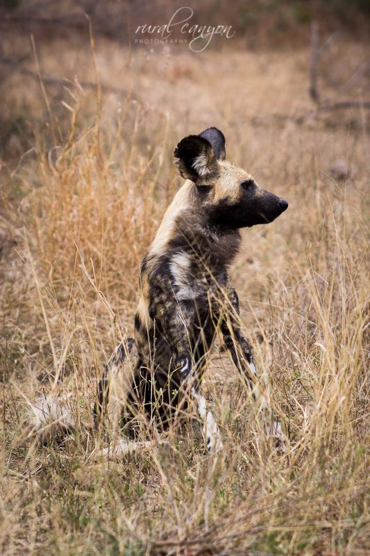 Wild dog-16