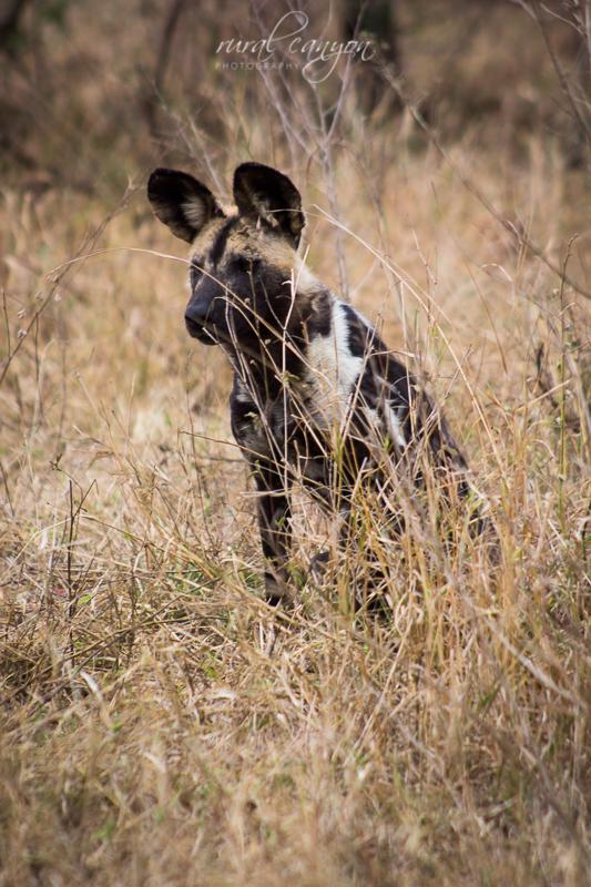 Wild dog-2