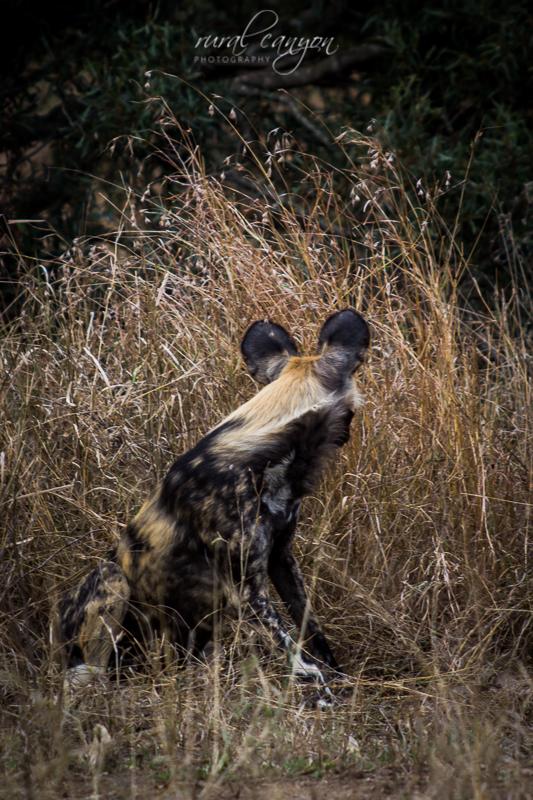 Wild dog-28