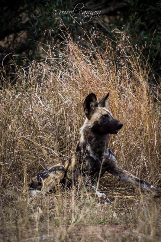 Wild dog-29