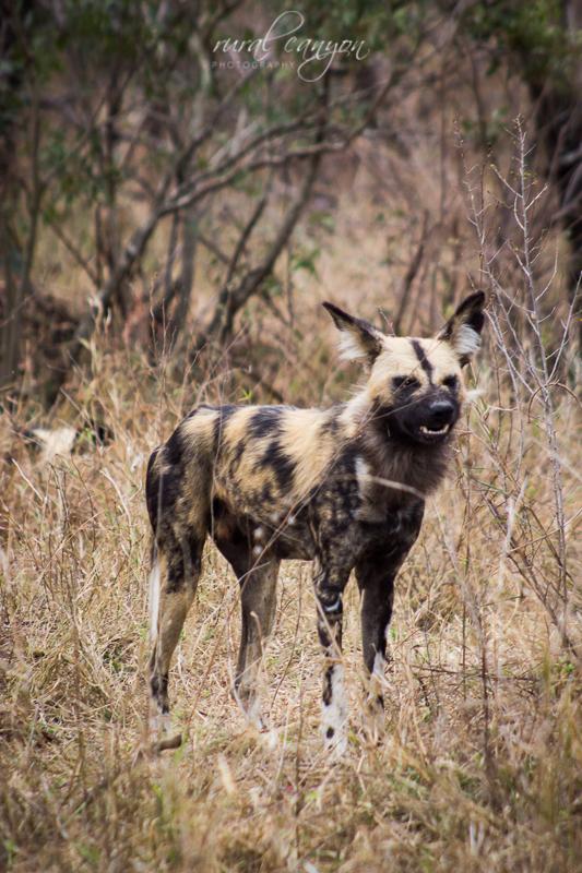 Wild dog-8
