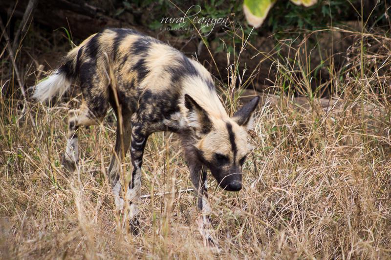 Wild dog-9