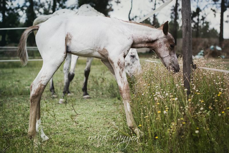 Foal-27
