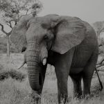 The elephant bull and marula tree