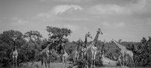 Giraffe Poses: black and white