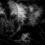 Wild dog – black and white