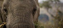 Study of an elephant
