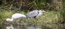 Heron, spoonbill and stork