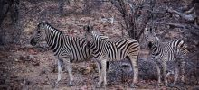 Zebra stares
