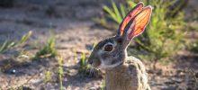 Bunny  . . . actually a hare