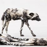 Brief glimpses of the painted dog