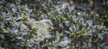 Garden Green Pigeons